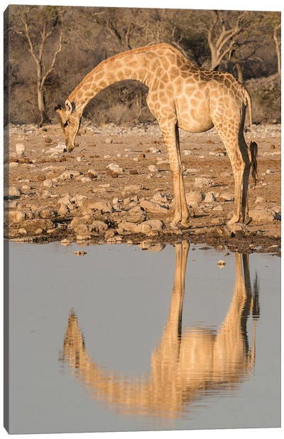 Giraffe Bends Over To Drink At A Waterhole, Reflecting In The Water, In Etosha National Park, Namibia. Canvas Art Print