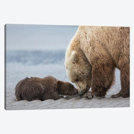 Coastal Grizzly bear cub begs for a clam. Lake Clark National Park, Alaska. Canvas Print #BND3} by Brenda Tharp Canvas Artwork