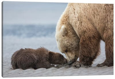 Coastal Grizzly bear cub begs for a clam. Lake Clark National Park, Alaska. Canvas Art Print