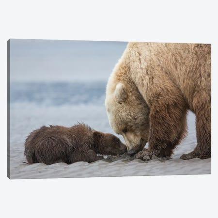 Coastal Grizzly bear cub begs for a clam. Lake Clark National Park, Alaska. Canvas Print #BND3} by Brenda Tharp Canvas Artwork
