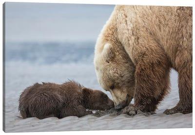 Coastal Grizzly bear cub begs for a clam. Lake Clark National Park, Alaska. Canvas Art Print