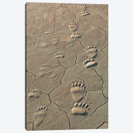Footprints of and cub coastal grizzly bears in Lake Clark National Park, Alaska. Canvas Print #BND4} by Brenda Tharp Art Print