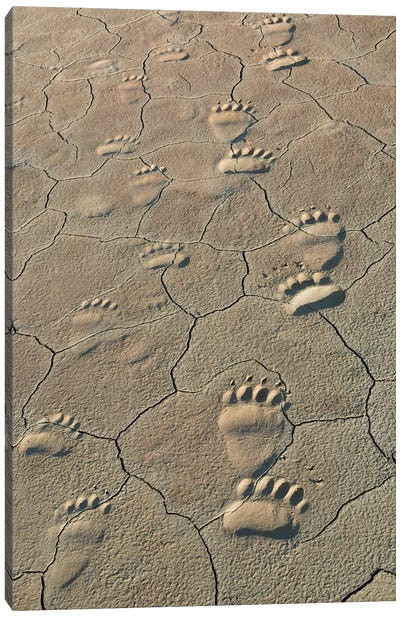 Footprints of and cub coastal grizzly bears in Lake Clark National Park, Alaska. Canvas Art Print
