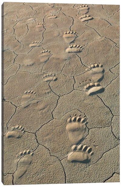 Footprints of and cub coastal grizzly bears in Lake Clark National Park, Alaska. Canvas Art Print