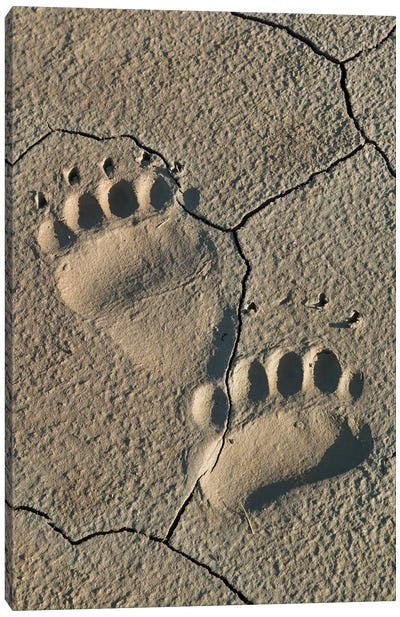 Footprints of coastal grizzly bear. Lake Clark National Park, Alaska. Canvas Art Print