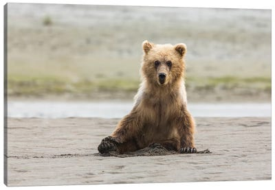 Immature coastal grizzly bear sits on beach. Lake Clark National Park, Alaska. Canvas Art Print
