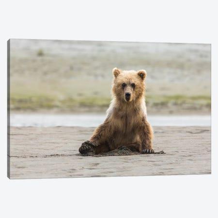 Immature coastal grizzly bear sits on beach. Lake Clark National Park, Alaska. Canvas Print #BND6} by Brenda Tharp Canvas Art Print