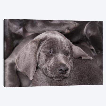 Weimaraner Puppy Sleeping, Blue Short-Haired Variety Canvas Print #BNL1} by Chris Brignell Canvas Wall Art