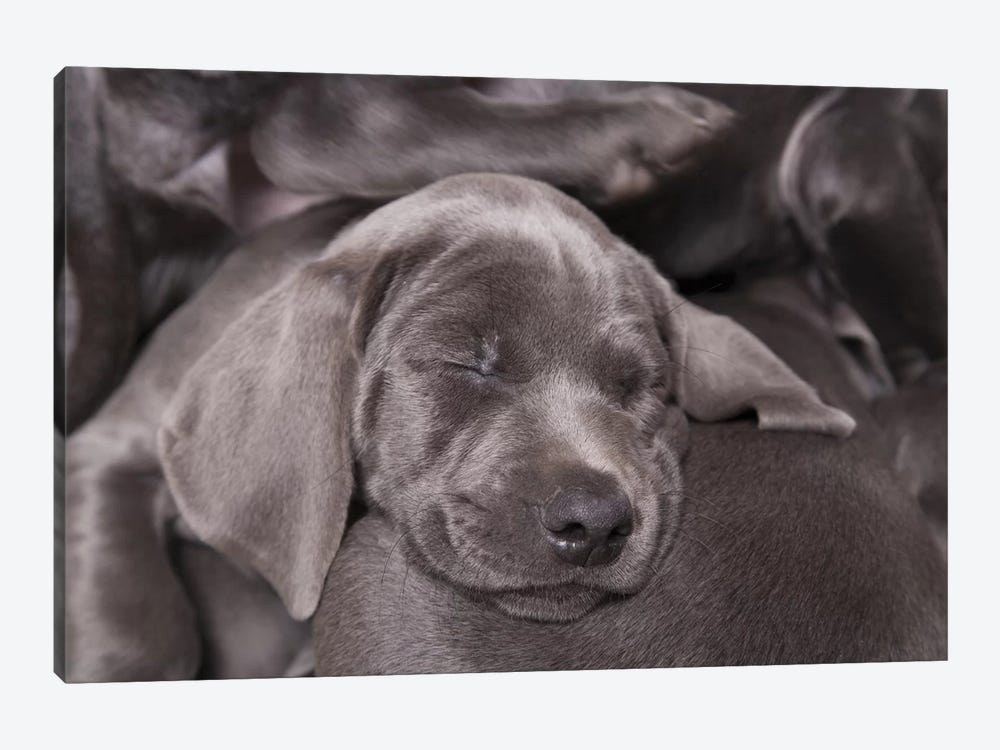 Weimaraner Puppy Sleeping, Blue Short-Haired Variety by Chris Brignell 1-piece Canvas Art Print