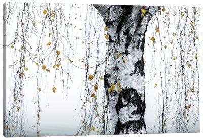 Birch Tree I Canvas Art Print