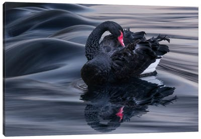 Black Swan Dune Canvas Art Print