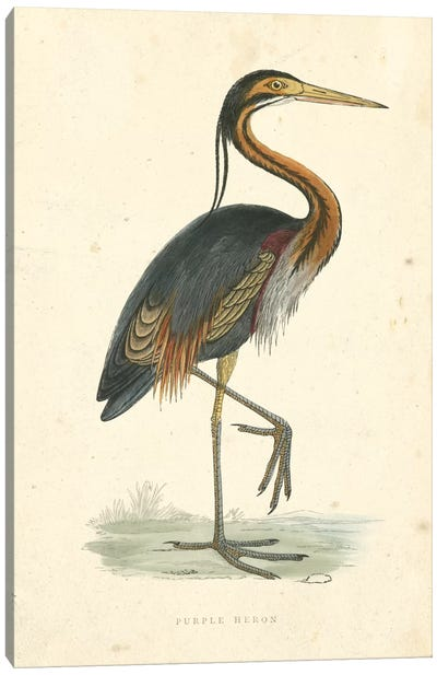 Vintage Purple Heron  Canvas Art Print
