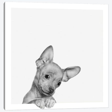 Sweet Chihuahua Canvas Print #BRT10} by Jon Bertelli Canvas Art