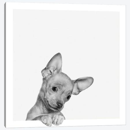 Sweet Chihuahua Canvas Print #BRT10} by Jon Bertelli Canvas Art