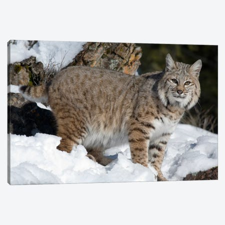 Bobcat In The Snow, Kalispell, Montana Canvas Print #BTR1} by Matthias Breiter Canvas Art Print