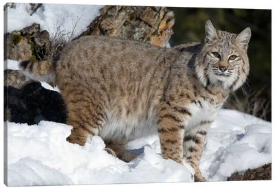 Bobcat In The Snow, Kalispell, Montana Canvas Art Print