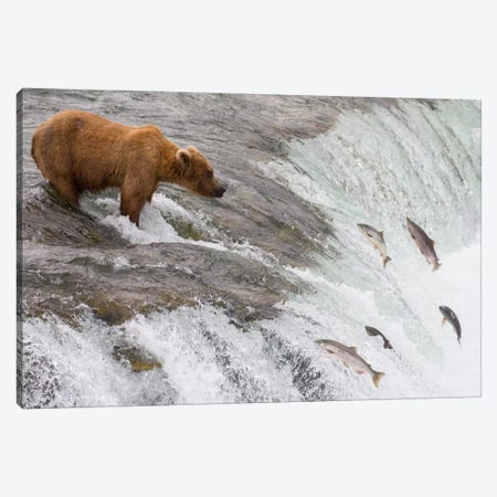 Grizzly Bear Fishing For Sockeye Salmon Which Are Jumping Up Waterfall, Brooks Falls, Katmai National Park, Alaska Canvas Print #BTR2} by Matthias Breiter Canvas Print