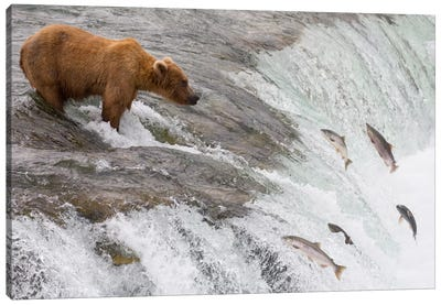 Grizzly Bear Fishing For Sockeye Salmon Which Are Jumping Up Waterfall, Brooks Falls, Katmai National Park, Alaska Canvas Art Print