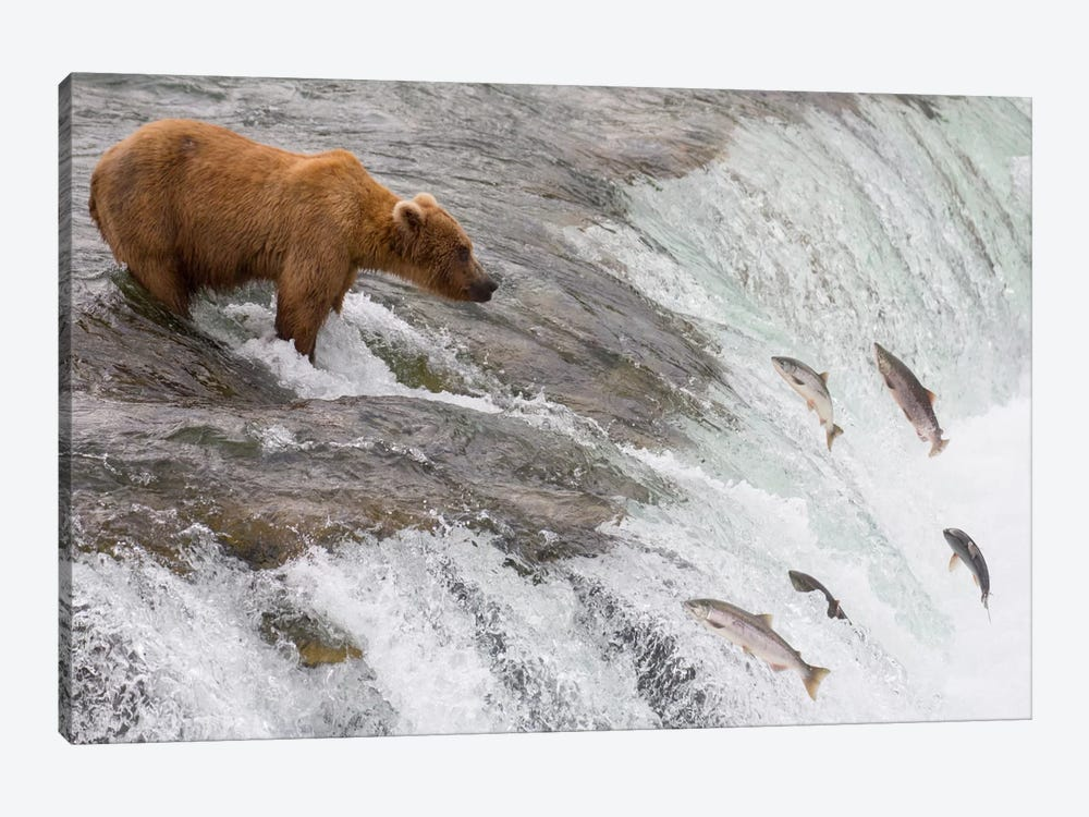 Grizzly Bear Fishing For Sockeye Salmon Which Are Jumping Up Waterfall, Brooks Falls, Katmai National Park, Alaska by Matthias Breiter 1-piece Canvas Print