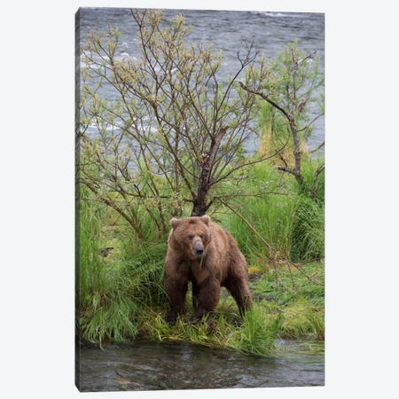 Grizzly Bear Male Scent Marking On Rubbing Tree, Katmai National Park, Alaska Canvas Print #BTR3} by Matthias Breiter Canvas Art Print