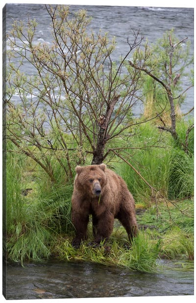 Grizzly Bear Male Scent Marking On Rubbing Tree, Katmai National Park, Alaska Canvas Art Print