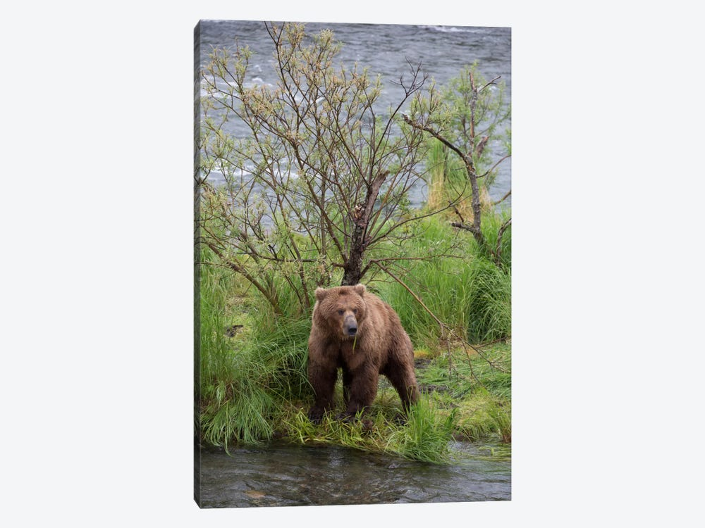 Grizzly Bear Male Scent Marking On Rubbing Tree, Katmai National Park, Alaska by Matthias Breiter 1-piece Canvas Wall Art