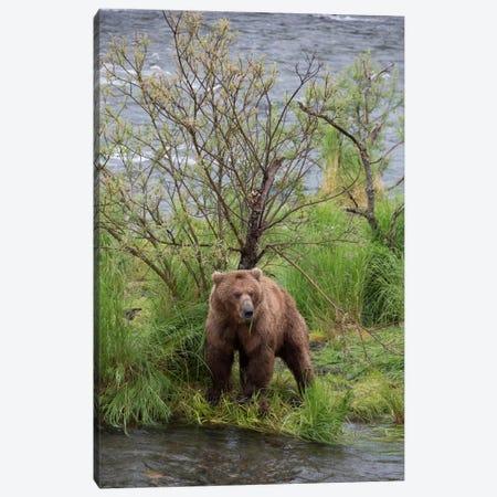 Grizzly Bear Male Scent Marking On Rubbing Tree, Katmai National Park, Alaska Canvas Print #BTR3} by Matthias Breiter Canvas Art Print