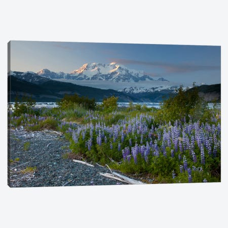Lupine Flowers And Mount Saint Elias Rising Above Taan Fjord, Icy Bay, Wrangell-St. Elias National Park, Alaska I Canvas Print #BTR5} by Matthias Breiter Canvas Art