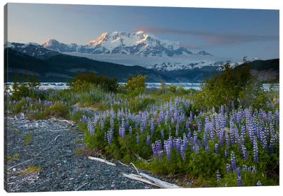 Lupine Flowers And Mount Saint Elias Rising Above Taan Fjord, Icy Bay, Wrangell-St. Elias National Park, Alaska I Canvas Art Print