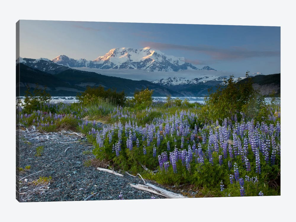 Lupine Flowers And Mount Saint Elias Rising Above Taan Fjord, Icy Bay, Wrangell-St. Elias National Park, Alaska I by Matthias Breiter 1-piece Canvas Wall Art