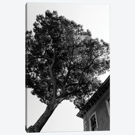 Italian Stone Pine Tree III Canvas Print #BTY1279} by Bethany Young Canvas Wall Art
