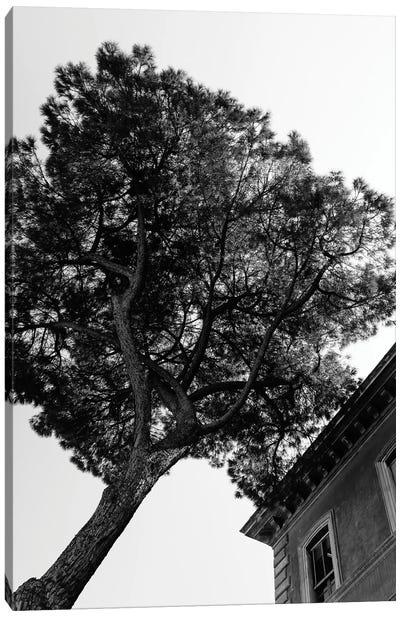 Italian Stone Pine Tree III Canvas Art Print
