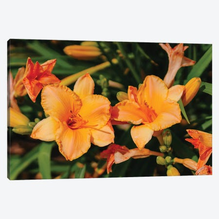 Daylily Garden XI Canvas Print #BTY1375} by Bethany Young Canvas Art