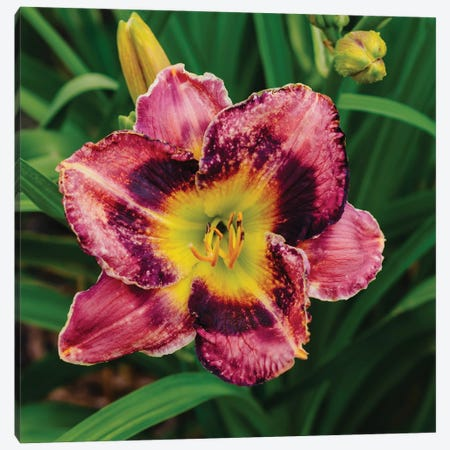 Daylily Garden XIII Canvas Print #BTY1377} by Bethany Young Canvas Artwork