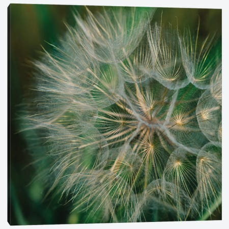 Summer Dandelion Canvas Print #BTY1395} by Bethany Young Canvas Artwork