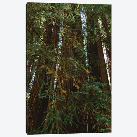 Redwood Forest XIV Canvas Print #BTY177} by Bethany Young Canvas Artwork