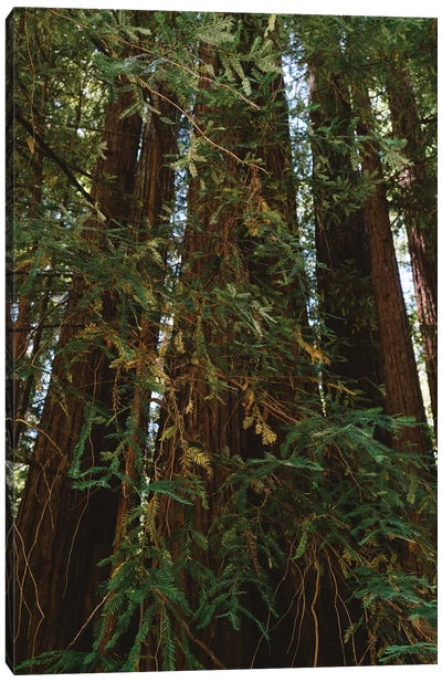Redwood Forest XIV Canvas Art Print