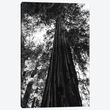 Redwood Forest XVI Canvas Print #BTY179} by Bethany Young Canvas Print