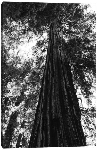 Redwood Forest XVI Canvas Art Print