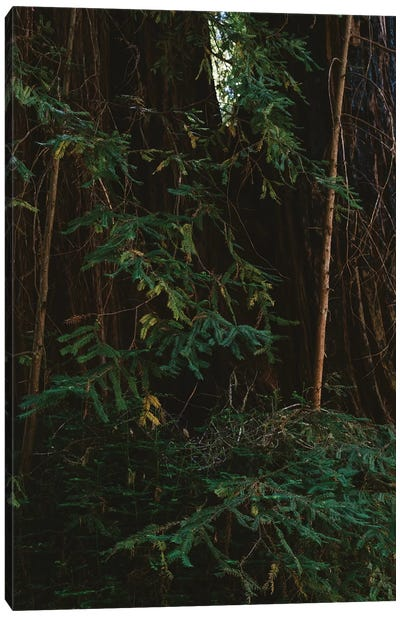 Redwood Forest III Canvas Art Print
