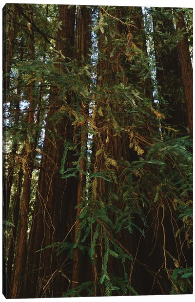 Redwood Forest V Canvas Art Print