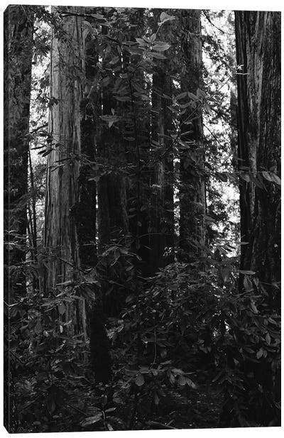 Redwood Forest VII Canvas Art Print