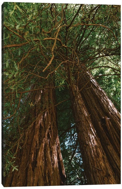 Redwood Forest VIII Canvas Art Print