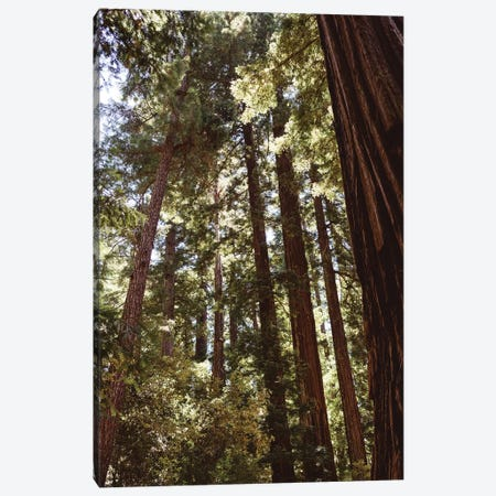 Redwood Forest XII Canvas Print #BTY570} by Bethany Young Canvas Print