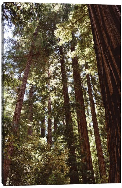 Redwood Forest XII Canvas Art Print
