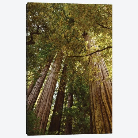 Redwood Forest Canvas Print #BTY572} by Bethany Young Canvas Art Print