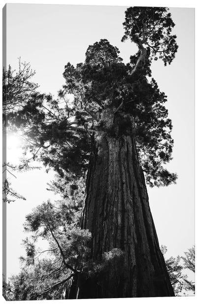 Sequoia National Park IX Canvas Art Print