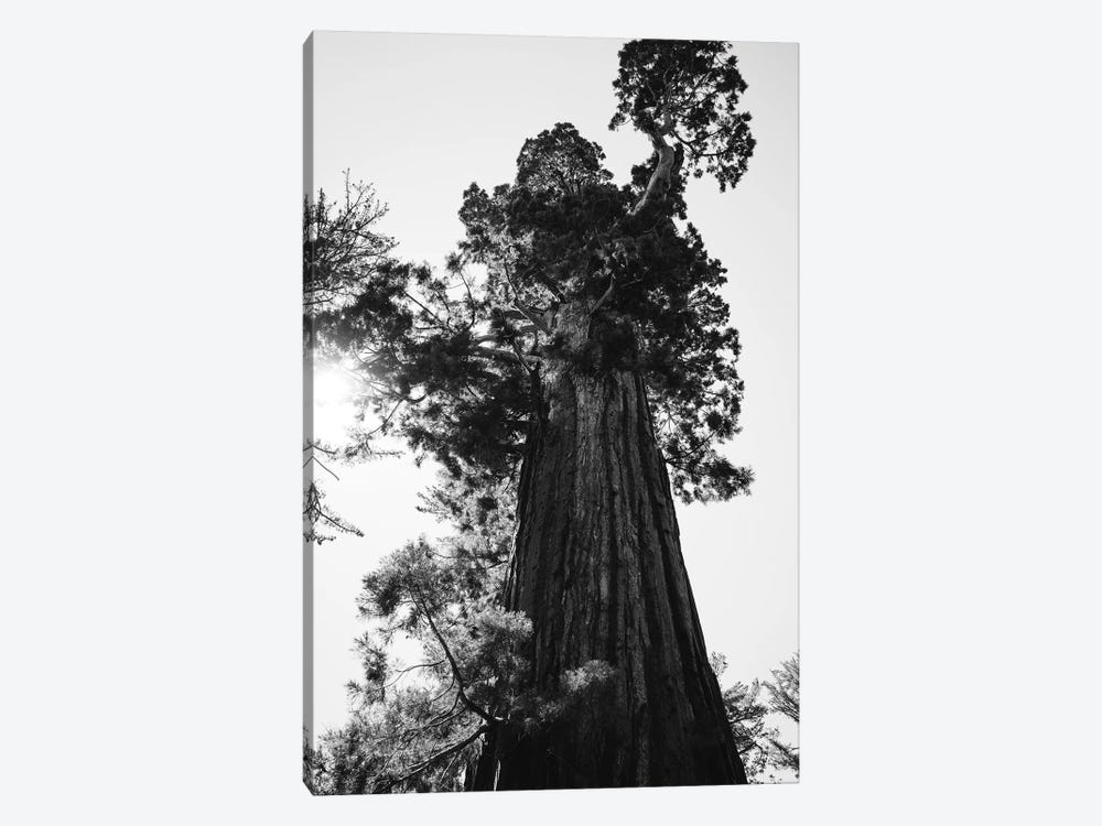 Sequoia National Park IX by Bethany Young 1-piece Art Print