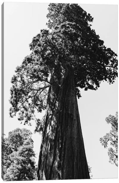 Sequoia National Park VI Canvas Art Print