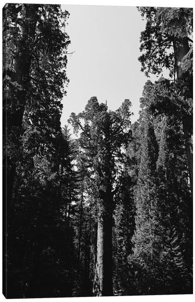 Sequoia National Park XII Canvas Art Print